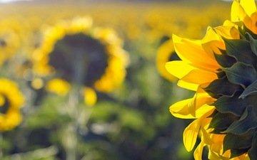 природа, поле, лето, подсолнухи