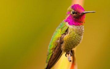 птица, клюв, перья, цветные, колибри