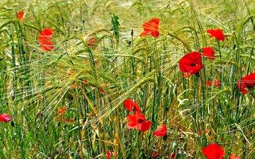 цветы, поле, лето, маки