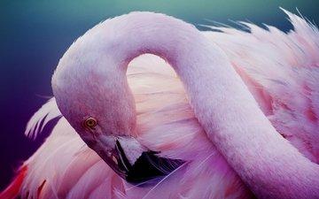 фламинго, птица, розовый, перья, шея
