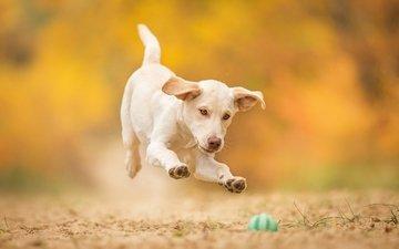 собака, прыжок, щенок, игра, мячик