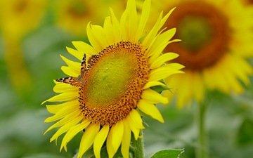 цветы, насекомое, бабочка, подсолнухи