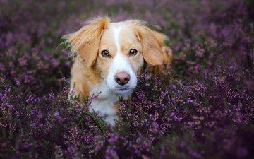 цветы, природа, мордочка, поле, лаванда, взгляд, собака, животное, пес, коикерхондье