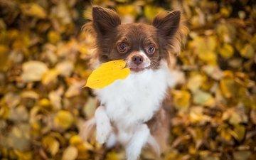 leaves, mood, dog, doggie, leaf, bokeh, chihuahua