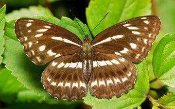 макро, насекомое, бабочка, крылья