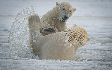 брызги, игра, медведи, аляска, белые медведи