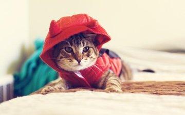 кот, кошка, взгляд, одежда, капюшон, одежда для кошек