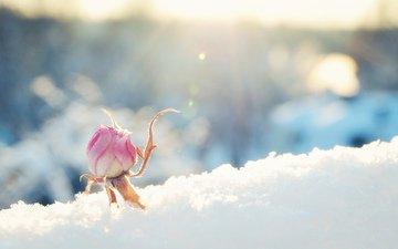 снег, цветок, роза, бутон, розовая, солнечно