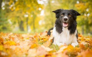 листья, парк, осень, собака