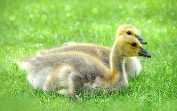 трава, природа, птицы, утята, утки, маленькие