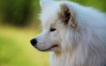 собака, профиль, белая, самоед