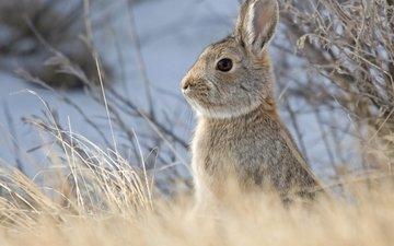 небо, животные, кролик, заяц, грызун, былинки