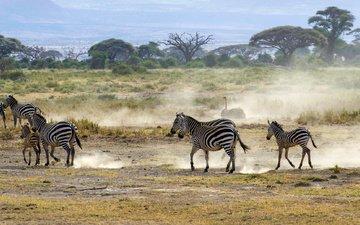 пейзаж, кусты, африка, пыль, саванна, зебры, страус