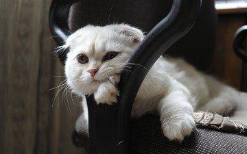 мордочка, кошка, взгляд, скоттиш-фолд, шотландская вислоухая кошка