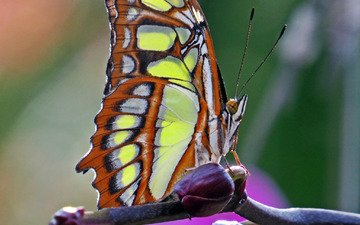 макро, насекомое, бабочка, malachite butterfly