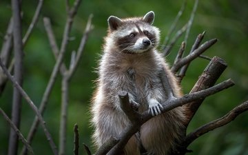 tree, animals, branches, raccoon