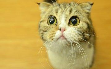 глаза, кот, усы, мордашка