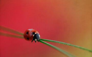 трава, насекомое, божья коровка, растение