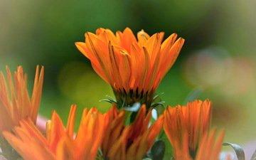 цветы, оранжевая, яркая, календула