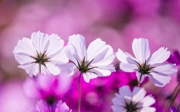 цветы, макро, лепестки, космея