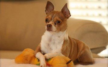 собака, игрушка, позирование, чихуахуа