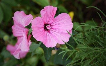 цветы, макро, розовые, лаватера