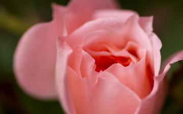 макро, цветок, роза, лепестки, розовая