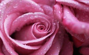 цветы, макро, роса, капли, роза, розовая, м