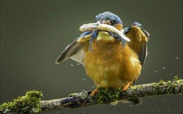 птица, рыба, зимородок, улов