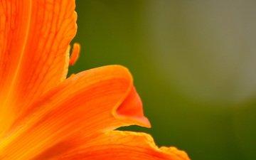 макро, цветок, лепестки, лилия