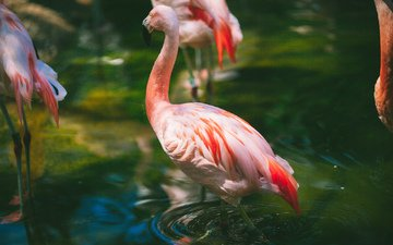 вода, фламинго, птицы, клюв, розовый, перья, шея, розовый фламинго