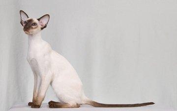 кот, кошка, сиамская