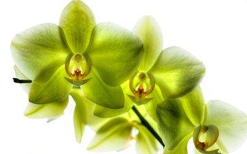 лепестки, зеленые, орхидея, орхидеи, фаленопсис, лимонная