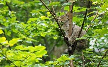 дерево, кошка, сон, лесная, дикая кошка, спящая