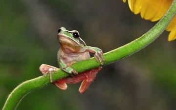 макро, цветок, лягушка, стебель
