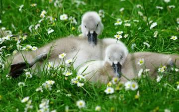цветы, природа, птицы, травка, птенцы, гусята