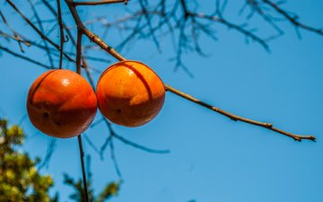 the sky, branch, fruit, persimmon