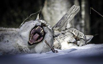 снег, зима, сон, парочка, отдых, пасть, рыси, зевок