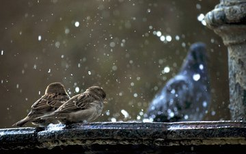 snow, birds, sparrows