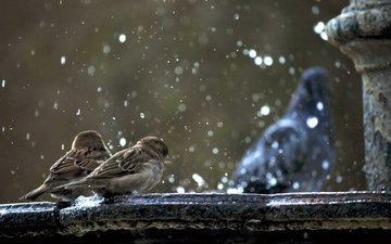 снег, птицы, воробьи