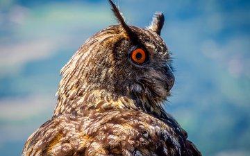 сова, птица, клюв, перья, филин