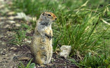 animal, marmot, rodent