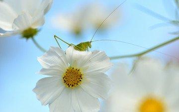 природа, насекомое, цветок, кузнечик