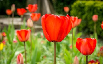 природа, поле, лепестки, луг, тюльпаны, стебель