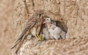 природа, птицы, хищник, ящерка, птенцы, гнездо, пища