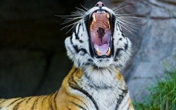 тигр, морда, клыки, пасть, зевает, дикая кошка, амурский тигр