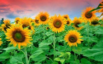 небо, цветы, облака, листья, поле, подсолнухи
