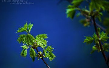 branch, nature, leaves, macro, summer, green, ralf bitzer