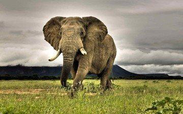 трава, природа, слон, африка, саванна