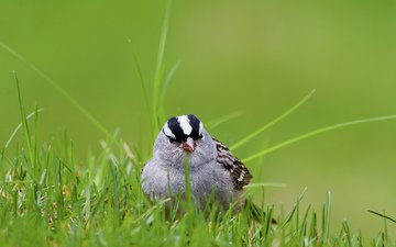 grass, white, bird, sparrow, crowned